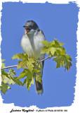 20130722 256 Eastern Kingbird.jpg