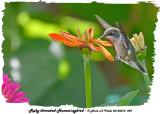 20130814 009 Ruby-throated Hummingbird.jpg