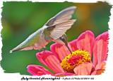 20130814 023 Ruby-throated Hummingbird.jpg