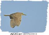 20130812 036 Night Heron (juv).jpg