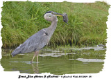 20130809 381 SERIES -Great Blue Heron & Muskrat.jpg