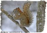 20130320 528 Red Squirrel.jpg