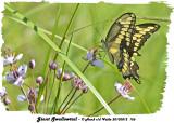 20130812 156 Giant Swallowtail.jpg