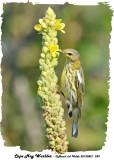 20130821 249 Cape May Warbler.jpg