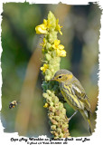 20130823 085 SERIES - Cape May Warbler and Bee.jpg