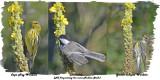 20130823 209 029 173  Cape May Warbler, Chickadee, Y-r Warbler.jpg