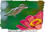 20130814 029 Ruby-throated hummingbird.jpg
