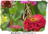 20130825 148 Giant Swallowtail.jpg