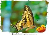 20130825 183 Giant Swallowtail.jpg