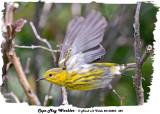 20130823 384 Cape May Warbler.jpg