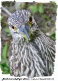 20130902 273 Black-crowned Night Heron (juv) 1c1.jpg