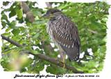 20130903 316 Black-crowned Night Heron ( juv).jpg