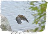 20130903 268 SERIES - Green Heron (juv).jpg
