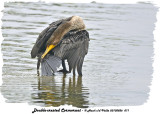 20130826 071 Double-crested Cormorant .jpg