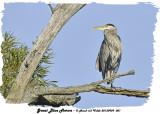 20130909 001 Great Blue Heron.jpg