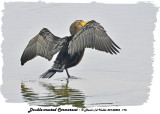 20130826 175 Double-crested Cormorant.jpg
