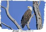 20130917 125 Bald Eagle.jpg