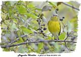 20130910 010 Magnolia Warbler.jpg