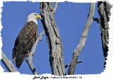 20130917 133 Bald Eagle 1r1.jpg