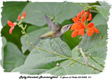 20130908 011 Ruby-throated Hummingbird.jpg
