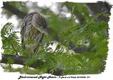 20130908 071 Black-crowned Night Heron (juv).jpg