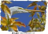 20130919 - 2 303 SERIES - Great Egret.jpg