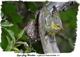 20130903 711 Cape May Warbler.jpg