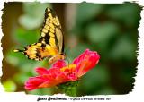 20130825 207 Giant Swallowtail.jpg