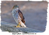 20130924 008 SERIES -  Cooper's Hawk.jpg