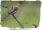 20131005 117 House Sparrows.jpg