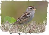 20131005 023 White-crowned Sparrow 1c1 1r1.jpg