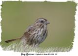 20131005 101 Song Sparrow.jpg