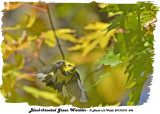 20131010 246 Black-throated Green Warbler.jpg