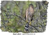 20131010 281 Cooper's Hawk.jpg