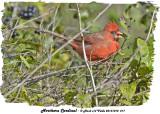 20131010 217 Northern Cardinal.jpg