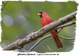 20131005 002 Northern Cardinal2.jpg