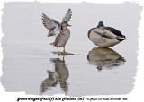20131022 003Green-winged Teal (f) and Mallard (m) 2.jpg