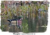 20131025 432 Wood Ducks.jpg