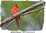 20131005 007 Northern Cardinal.jpg