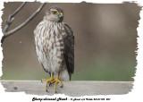 20131109 207 Sharp-shinned Hawk (juv) .jpg