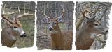20131112 124 060 033 White-tailed Deer.jpg