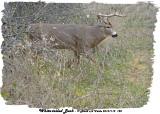 20131112 120 White-tailed Buck.jpg