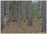 20131113 - 2 135 White-tailed Deer.jpg