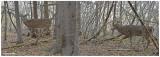 20131113 - 2 105, 113 SERIES - White-tailed Deer.jpg