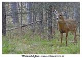 20131112 053 SERIES - White-tailed Deer.jpg