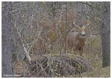 20131113 - 2 027 SERIES - White-tailed Deer.jpg