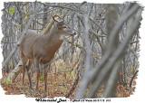 20131112 033  SERIES - White-tailed Deer.jpg