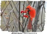 20131125 088 Northern Cardinal.jpg