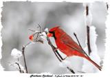 20131127 131 SERIES -  Northern Cardinal.jpg