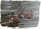 20131118 143 Beaver.jpg